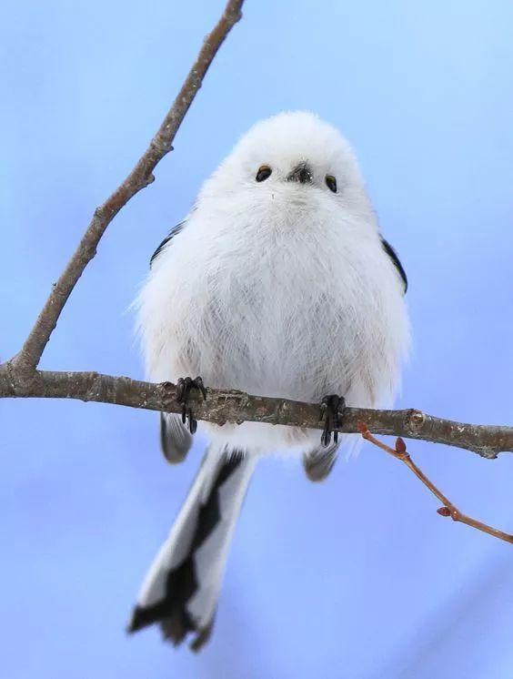 小编山雀的是银喉长尾要说的小时候长的跟一团白白胖胖的糯米糍似的鱼龙混杂成语图片