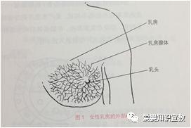 母乳生成的原理_二、 原理   活体生物荧光成像技术是指在小的哺乳动物体内利用报告基因-荧光素酶基因表达所产生的荧光素酶蛋白与其小分子底物荧光素