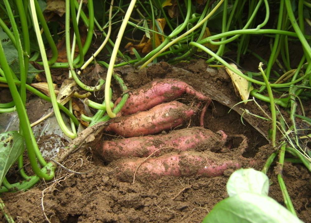 红薯种植的高产管理要点图片