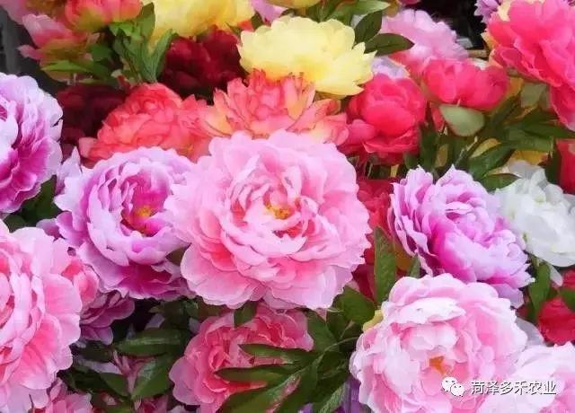 国花牡丹,你知道牡丹花的诞辰吗?