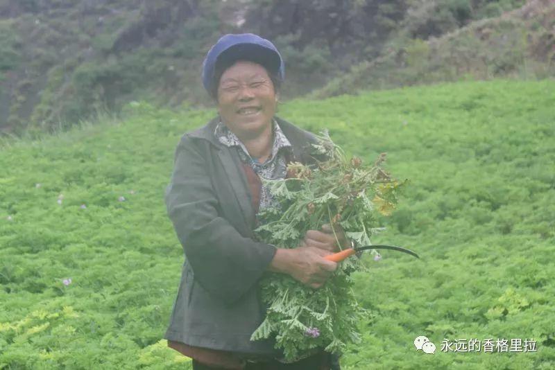 云南三坝纳西族乡:摸摸香、油橄榄从深山直恩