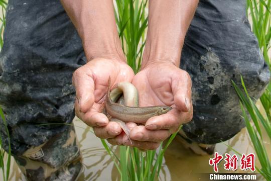 """福建德化:""""台湾泥鳅""""山间游村民致富好帮手"""