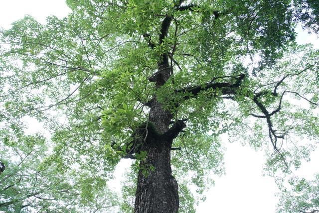 潮州的韩文公祠有一棵木棉树,考试之前来这里会有好彩头
