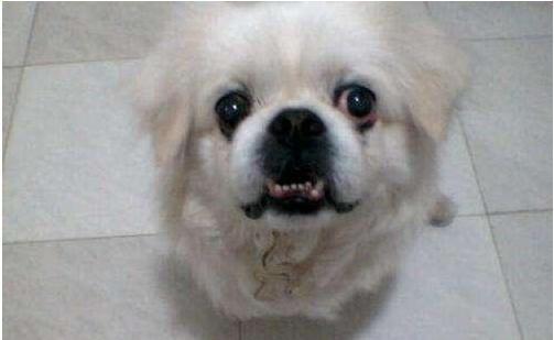 为什么现在的人都不养京巴犬?