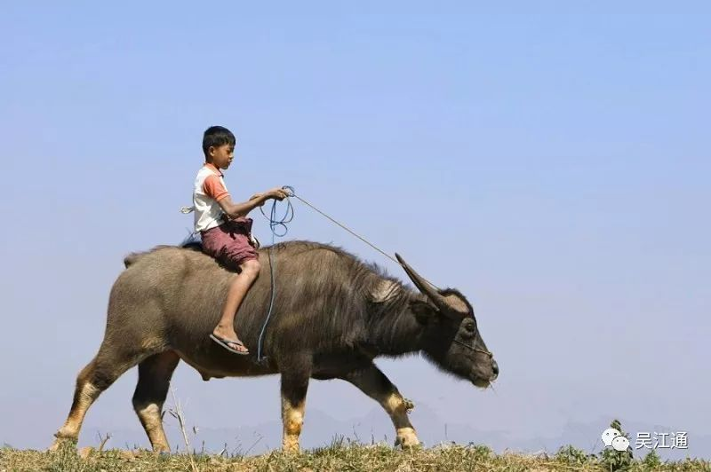 梦见骑牛奔跑回家
