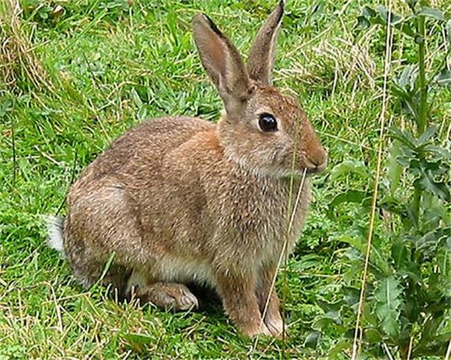 野兔,野兔,野兔 野兔 杂交野兔野兔