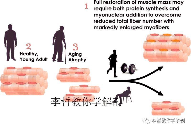 老化萎缩的肌肉,可以逆转为年轻态吗?