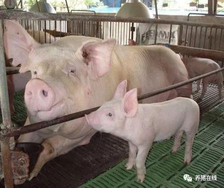 大多数母猪可以从阴户看到恶露,多数表现为乳白色,数量丰富,一些母猪图片