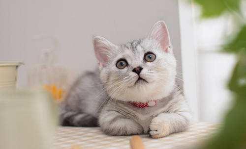 猫咪发情图片