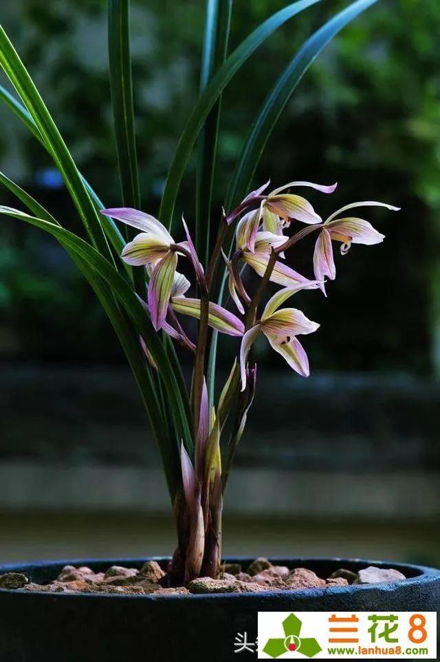 养兰花,浇水牢记3句话,兰花10年不烂根,越长越壮,开花图片