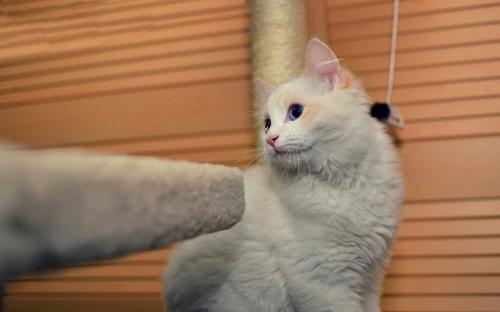猫咪发情的叫声图片