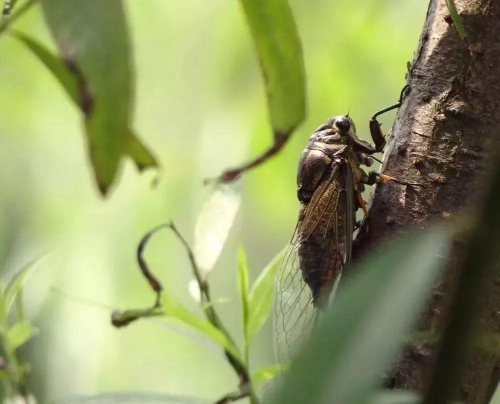 蝉又名蚱蝉,知了龟,知了猴等,蝉若虫(知了龟)有极高的药膳营养价值和图片