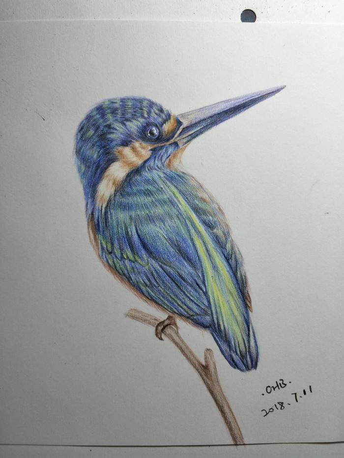 零基础学彩铅第十课:蓝耳翠鸟手绘过程分享