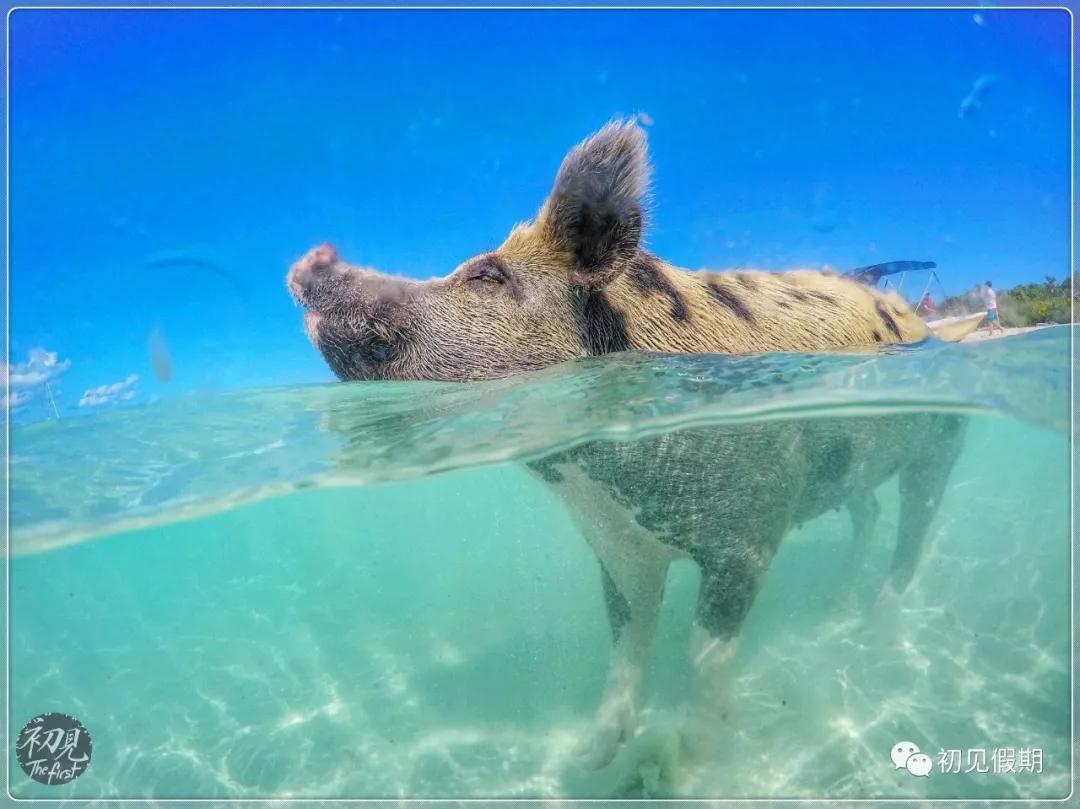 猪吃东西的动图