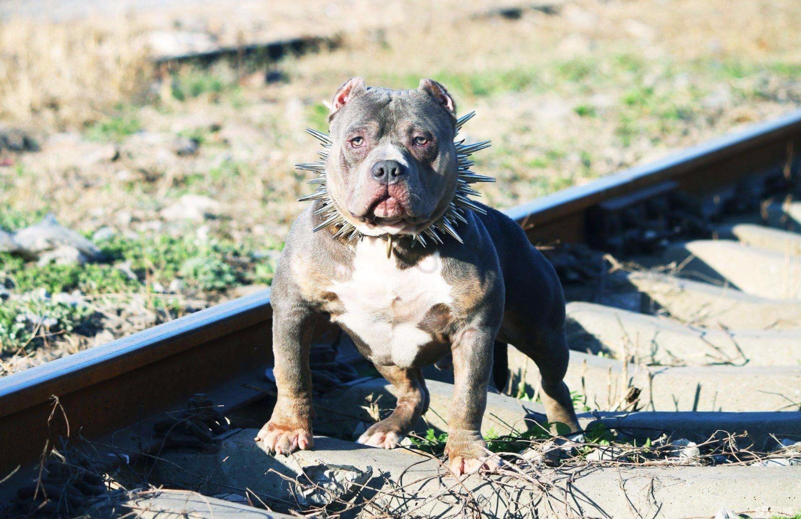 最初培育出来其目的就是让它成为保护家庭的守护犬,它就是美国恶霸犬图片