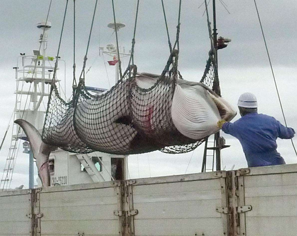 为什么日本宁愿补贴80亿,也要捕杀鲸鱼?答案没那么简单