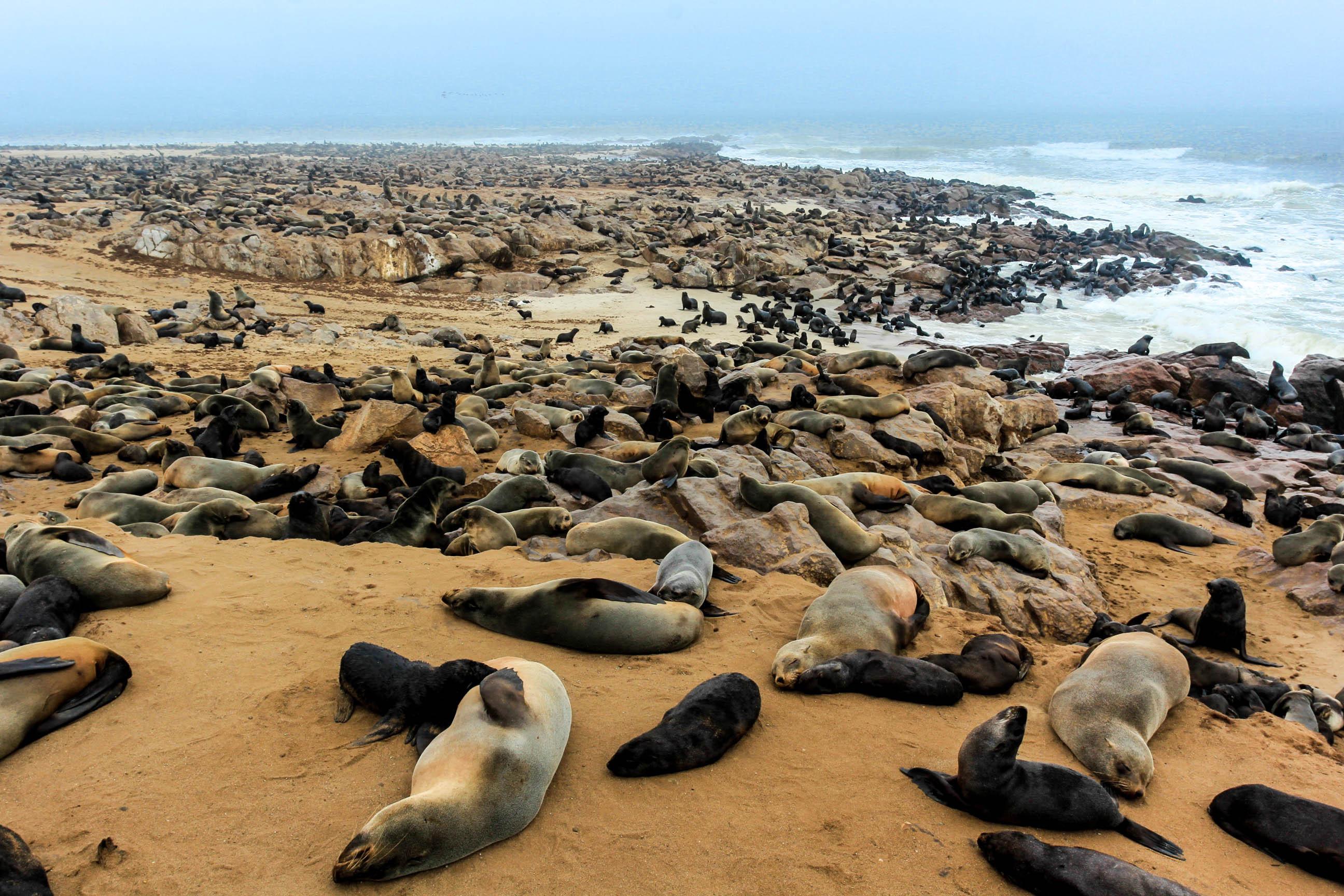 十字角海豹滩:20多万只海豹同时在一片海滩上是一种怎样的场面?