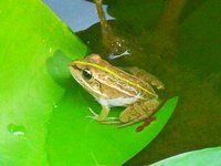 乡下青蛙家平菇钓鱼塘,新鲜的龙虾pk堂哥做饵猪肝加入v青蛙灵图片