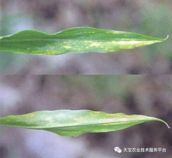 生姜常见病虫害图谱