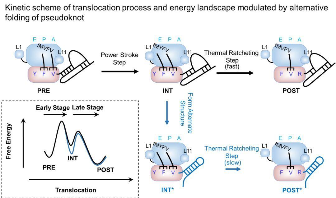 健康 正文  在翻译过程中,mrna的二级结构能够阻碍核糖体在mrna上的图片