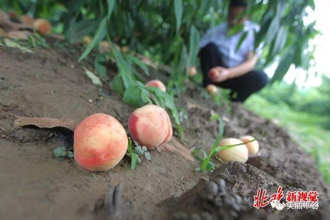 这个很强大:北京平谷后北宫首个大桃村 年产值已达12亿元