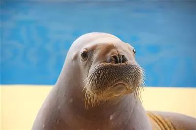 海兽秀场包括海豹湾和海象岛,是呆萌的海豹,慵懒的海象,顽皮的海狮的