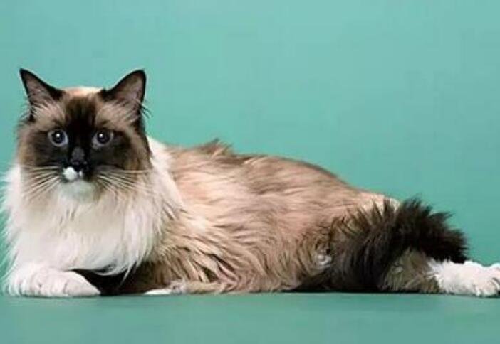 巴厘猫多少钱一只图片