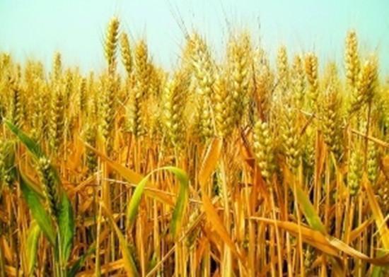 [原创]酿酒技术-酿造小麦酒的基本流程(图)