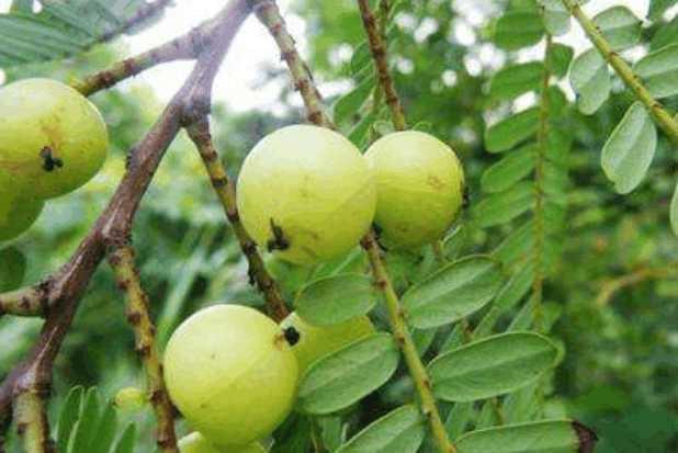 """[原创]南方有一种野果,维C是蓝莓100倍,被誉为""""野果之王""""(图)"""