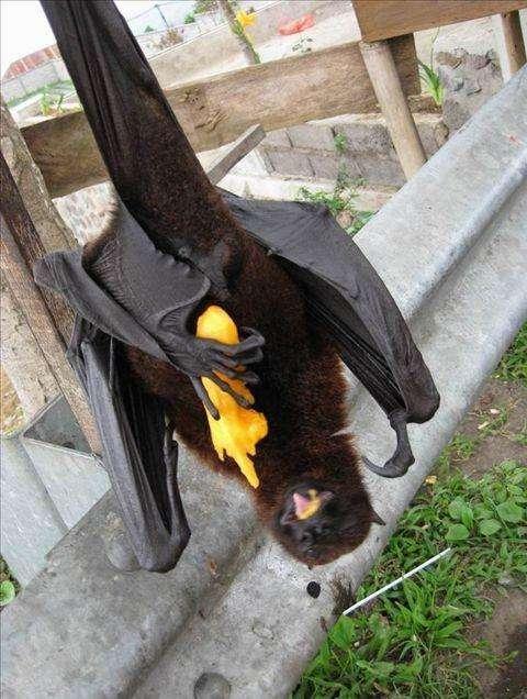 天下上最大的蝙蝠  同党张开比人都长(leedjobs.com)