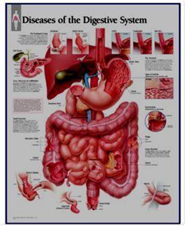 肝脏生理解剖结构_【考试干货】肝脏解剖