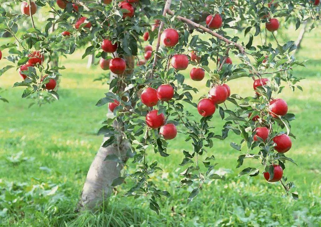 果树混种有忌讳:苹果园不能植核桃,葡萄园不