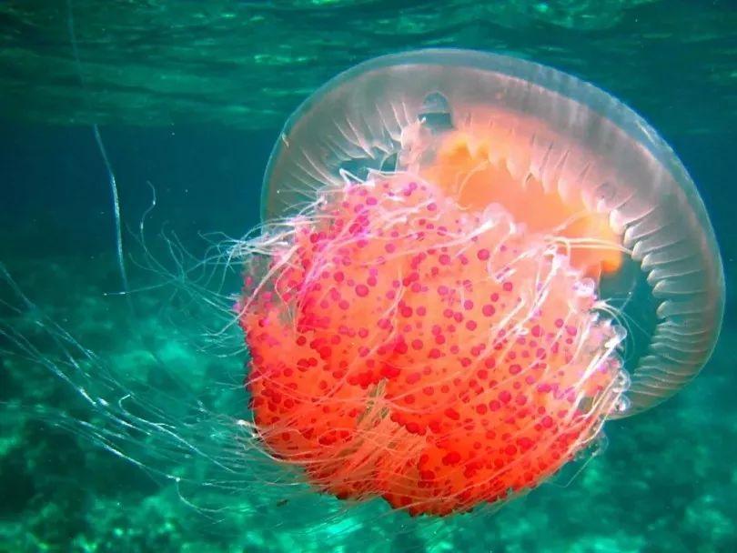 哈佛超柔性机器人把水母握手心 ,还可下海活捉章鱼