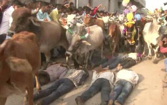 全球最奇葩节庆方式,印度人躺地上任牛群踩踏,称可获得神牛祝福