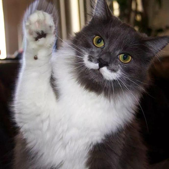 一只长着白胡子的美国猫咪,气质却像极了英国绅士!