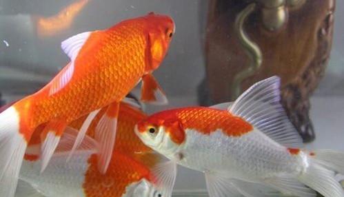 办公室风水知多少 办公室养鱼养几条才最好