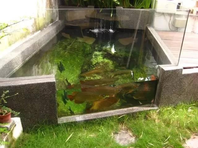 国外鱼友的室外龙鱼池图片
