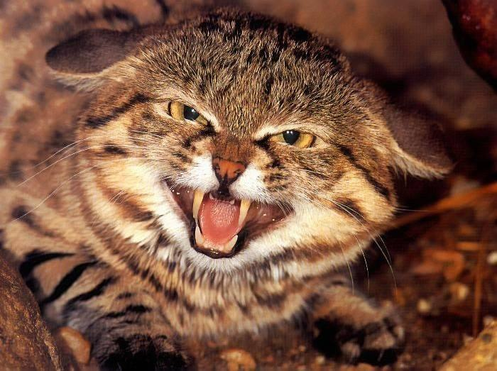 百性亚洲无码_自然界最小的猫科动物:天性害羞,家猫与其杂交导致它们面临灭绝