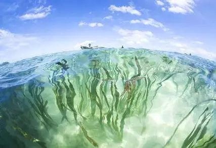 海洋里的植物你就吃过海带?那就太out了图片