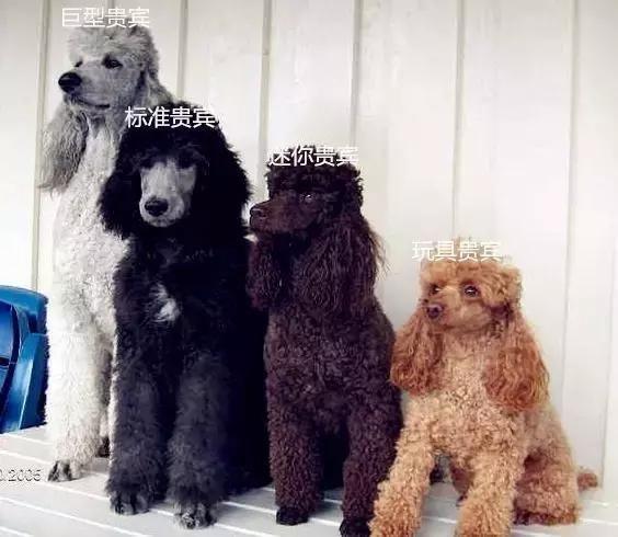 根据体型大小贵宾犬被分为巨型贵宾,标准贵宾,迷你贵宾,玩具贵宾