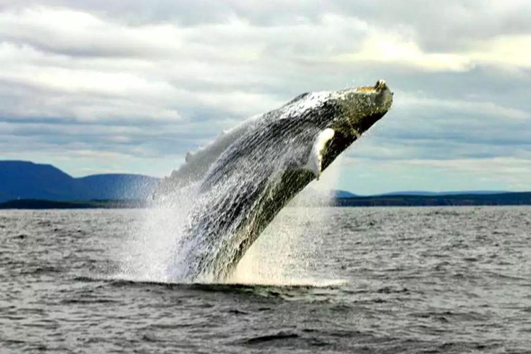 金侨驹�(_夏季赏鲸正当时   2018年加拿大观鲸指南