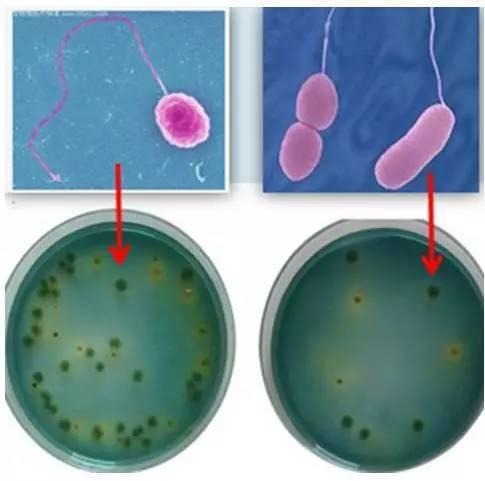 弧菌红蓝手绘图