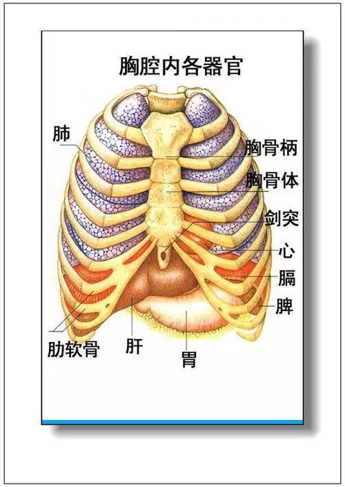 人体的肚子内部结构�_人体器官分部彩图(大全)