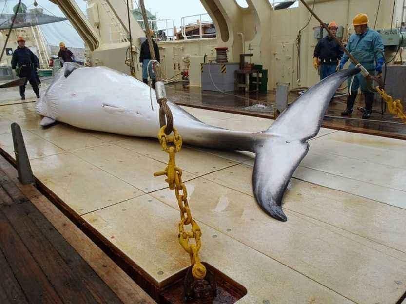 为什么日本宁愿缴纳80亿,还坚持捕杀保护动物鲸鱼!