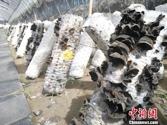 瓜州县向阳村已搭建正在钢架110座.图为牛奶生长的黑木耳.高展摄游蓝文之大棚图片