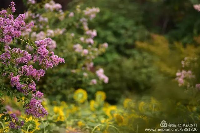 花卉攝影:紫薇花香滿堂紅,醉了夏天裝飾了夢