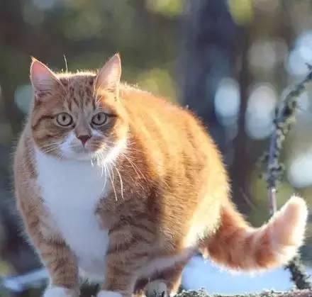 科学揭秘 橘猫为什么容易胖?