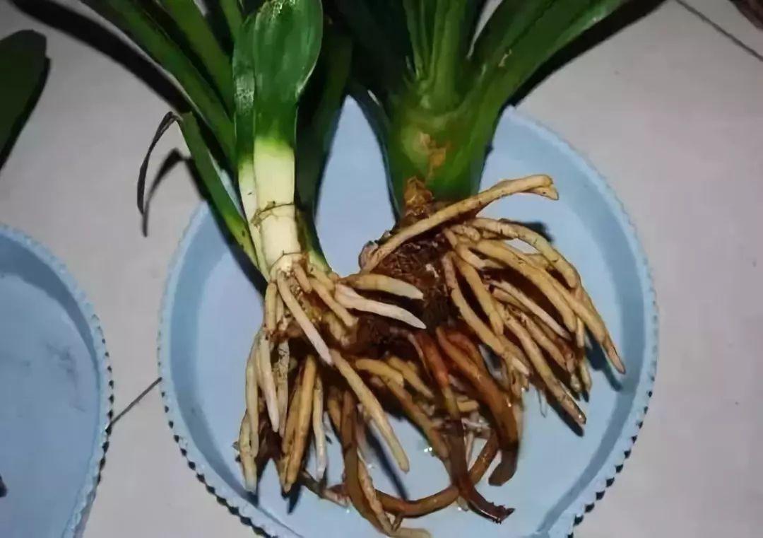 茯苓植物图片