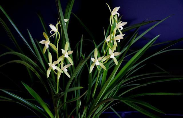 兰花生性喜欢半阴的环境,如果将它养殖在强光的环境下,肯定会灼伤叶片图片