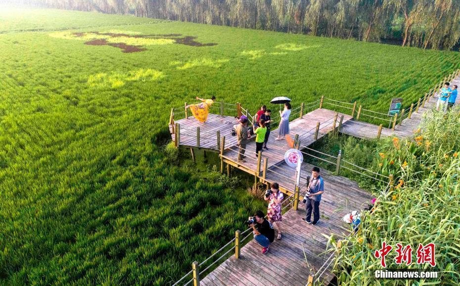 江苏泰州地�_新闻 正文  8月5日,江苏泰州农业开发区秋雪湖生态景区种植的\
